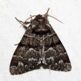 9182 - Eastern Panthea - Panthea furcilla (dark morph)