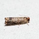 2701 – Sumac Leaftier – Episimus argutana