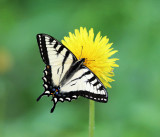 Canadian Tiger Swallowtail - Papilio canadensis