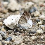 6666 - Bluish Spring Moth - Lomographa semiclarata