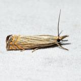 5391 - Cranberry Girdler - Chrysoteuchia topiaria