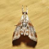 4889 - Julia's Dicymolomia - Dicymolomia julianalis