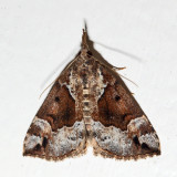 8444 – Mottled Hypena – Hypena palparia