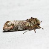 8007 – Unicorn Caterpillar – Schizura unicornis