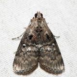 5606 – Maple Webworm – Pococera asperatella