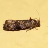 2738 - Verbena Bud Moth - Endothenia hebesana