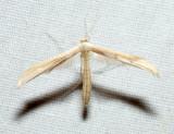 6207 – Hellinsia paleaceus
