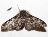 6640 - Pepper and Salt Geometer - Biston betularia