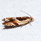 3358 – Yellow Birch Leaffolder – Ancylis discigerana