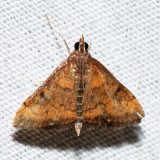 5051 – Variable Reddish Pyrausta – Pyrausta rubricalis