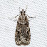 4716 – Double-striped Scoparia – Scoparia biplagialis