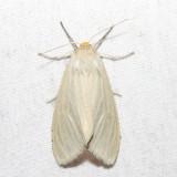 8231 - Oregon Cycnia - Cycnia oregonensis