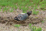 Common Snapping Turtle - Chelydra serpentina (laying eggs)
