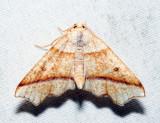 6844 - Hollow-Spotted Plagodis - Plagodis alcoolaria
