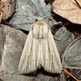 10446 – Many-lined Wainscot – Leucania multilinea