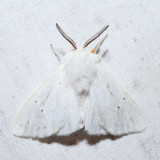8134 – Agreeable Tiger Moth – Spilosoma congrua