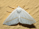 6964 – White Slant-Line – Tetracis cachexiata