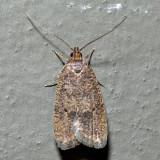 0955 – Oak Leaftier Moth – Psilocorsis quercicella
