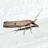 5435 – Changeable Grass-veneer – Fissicrambus mutabilis