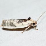 1011 - Schlaeger's Fruitworm Moth - Antaeotricha schlaegeri