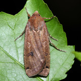 11003.1 – Large Yellow Underwing – Noctua pronuba