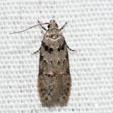 1874 – Pseudotelphusa quercinigracella