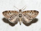 7526 - Eupithecia russeliata (male)