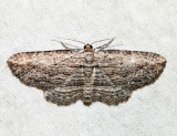 7445 - Brown Bark Carpet Moth - Horisme intestinata