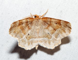 6825 – Pale Metarranthis – Metarranthis indeclinata