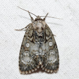 9251 - Retarded Dagger - Acronicta retardata