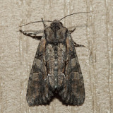10299 - Speckled Cutworm - Lacanobia subjuncta