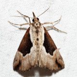 8442 – Baltimore Hypena – Hypena baltimoralis
