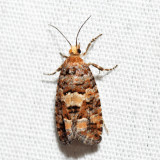 3074 - White Pine Cone Borer - Eucosma tocullionana
