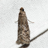 5745 – Glyptocera consobrinella