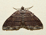 7330 - Many-lined Carpet - Anticlea multiferata