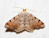 6339 - Blurry Chocolate Angle - Macaria transitaria