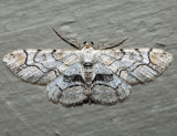 6588 – Bent-line Gray – Iridopsis larvaria
