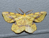 6740 - False Crocus Geometer - Xanthotype urticaria (male)