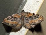 7290 - Barberry Geometer - Coryphista meadii *