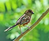 Eastern Towhee - Pipilo erythrophthalmus  (female)