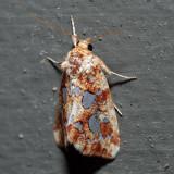 9633 - Silver-Spotted Fern Moth - Callopistria cordata
