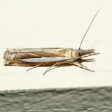 5355 – Common Grass-veneer Moth – Crambus praefectellus