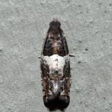 3310 – Walker's Epinotia – Epinotia transmissana