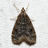 4717 – Dark-brown Scoparia – Scoparia penumbralis