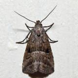 8420 - Large Hypenodes - Hypenodes caducus