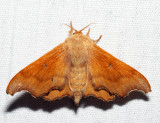 7659 - Scalloped Sack-bearer - Lacosoma chiridota