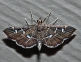 Diathrausta reconditalis or harlequinalis