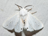 8137 – Virginian Tiger Moth – Spilosoma virginica