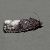 3497 - Locust Twig Borer - Ecdytolopha insiticiana