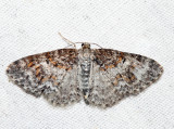 7422 – Unadorned Carpet – Hydrelia inornata (female)